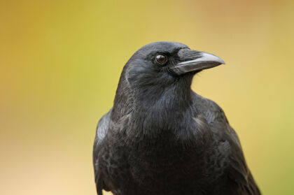 A Crow on a Rainy Day